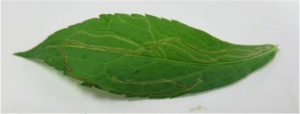 Fig. 2 Ophiomyia sp. fly leaf miner of a Solidago rugosa